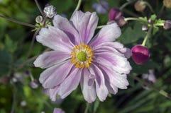 Anemonowy hupehensis japonica, Japoński anemon, dwoisty kwiat, thimbleweed windflower w kwiacie obrazy royalty free