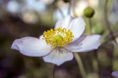 Anemonowy hupehensis japonica, Japoński anemon, thimbleweed windflower w kwiacie obrazy royalty free