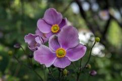 Anemonowy hupehensis japonica, Japoński anemon, thimbleweed windflower w kwiacie zdjęcia stock