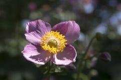Anemonowy hupehensis japonica, Japoński anemon, thimbleweed windflower w kwiacie obraz royalty free