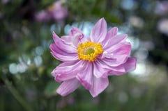 Anemonowy hupehensis japonica, Japoński anemon, thimbleweed windflower w kwiacie obraz stock