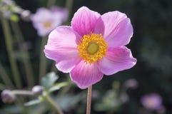 Anemonowy hupehensis japonica, Japoński anemon, thimbleweed windflower w kwiacie zdjęcie royalty free