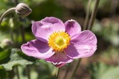 Anemonowy hupehensis japonica, Japoński anemon, thimbleweed windflower w kwiacie zdjęcie stock
