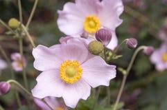 Anemonowy hupehensis japonica, Japoński anemon, thimbleweed windflower w kwiacie fotografia stock