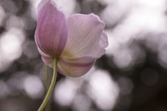 Anemonowy hupehensis japonica, Japoński anemon, thimbleweed windflower w kwiacie obrazy stock