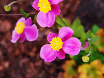 Anemonowy hupehensis var japonica ` Splendens ` fotografia stock