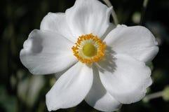 Anemonowy x hybrida 'Honorine Jobert' zdjęcie stock