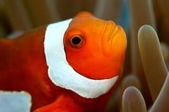 anemonowy klaun Obrazy Stock