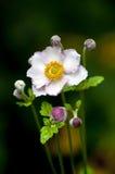 anemonowy kwiat Zdjęcia Royalty Free