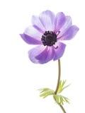 Anemonowy kwiat Fotografia Stock