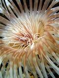 anemonowy morza Zdjęcia Royalty Free