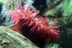 anemonowy morza zdjęcie royalty free