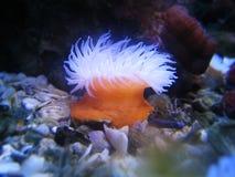 anemonowy morza Fotografia Royalty Free