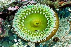 anemonowy morze zdjęcia royalty free