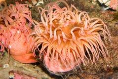 anemonowy morze obraz royalty free