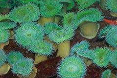 anemonowy morze Fotografia Stock