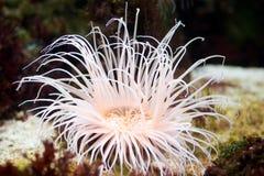 anemonowy morze Zdjęcie Royalty Free