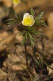 anemonowy nemorosa Fotografia Royalty Free