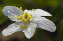 anemonowy nemorosa Fotografia Stock