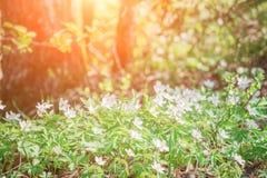 Anemonowy nemorosa jest wczesnowiosennym kwiatono?nym ro?lin? w genus anemon fotografia royalty free