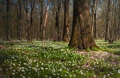 Anemonowy nemorosa kwiat w lesie w słonecznym dniu Drewniany anemon, windflower, thimbleweed Obraz Stock