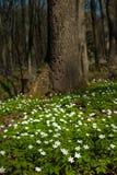 Anemonowy nemorosa kwiat w lesie w słonecznym dniu Drewniany anemon, windflower, thimbleweed Obrazy Royalty Free