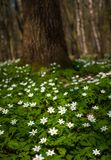 Anemonowy nemorosa kwiat w lesie w słonecznym dniu Drewniany anemon, windflower, thimbleweed Zdjęcia Stock