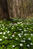 Anemonowy nemorosa kwiat w lesie w słonecznym dniu Drewniany anemon, windflower, thimbleweed Obraz Royalty Free