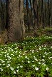 Anemonowy nemorosa kwiat w lesie w słonecznym dniu Drewniany anemon, windflower, thimbleweed Fotografia Stock