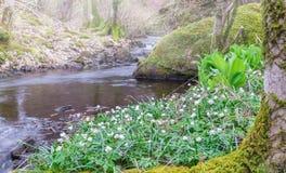 Anemonowy nemorosa kwitnie na banku strumień niebieska spowodowana pola pełne się chmura dzień zielonych roślin krajobrazu ruchu  obrazy stock