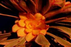 Anemonowy roślina kwiatu Sunburst var Fotografia Stock