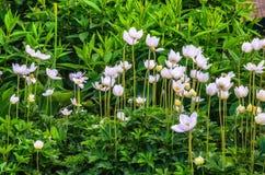 Anemonowy sylvestris śnieżyczki anemon - Biali kwiaty w ogródzie botanicznym zdjęcie royalty free