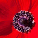 anemonred fotografering för bildbyråer