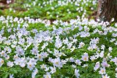 anemons άγρια δάση πεδίων Στοκ φωτογραφίες με δικαίωμα ελεύθερης χρήσης