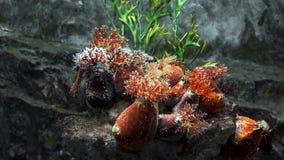 Anemons op de overzeese van de rotsertsader onderwater, onderwaterinstallaties en de organismen, kleurrijke waterwereld, corall e stock video