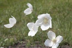Anemonsylvestris - en perenn ört Royaltyfria Bilder