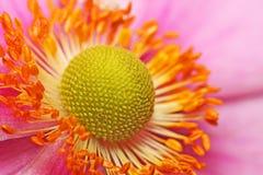 anemonu obrazek ogrodowy makro- Zdjęcie Stock