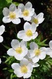 anemonu pierwszy kwiatów wiosna sylvestris Obraz Stock