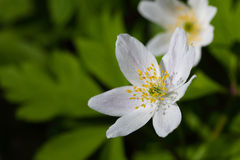 anemonu pierwszy kwiatów wiosna sylvestris pierwszy wiosenny kwiat Obrazy Stock