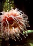 anemonu róży łaciasty biel Fotografia Royalty Free