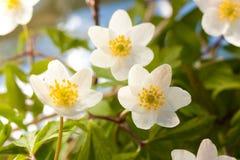 anemonwhite Royaltyfri Bild
