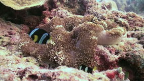 Anemony i błazen ryba Zamyka w górę strzału Maldives zdjęcie wideo