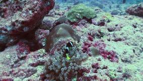 Anemony i błazen ryba Zamyka w górę strzału Maldives zbiory