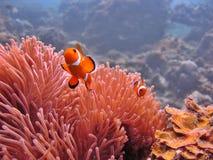 Anemoon & Clownfish stock afbeeldingen