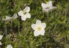 Anemoon, een soort van eeuwigdurende kruidachtige bloeiende installaties van de Ranunculaceae-familie stock fotografie