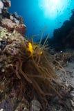 Anemoon en anemonefish in het Rode Overzees royalty-vrije stock fotografie