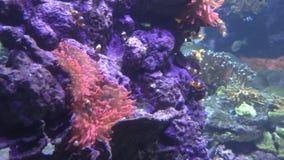 Anemoon en Clownfish stock videobeelden