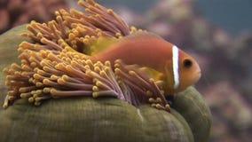 Anemoon en clownfish dichte omhoog onderwater op zeebedding van het wild de Maldiven stock footage