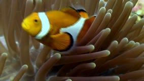 Anemoon en clownfish dichte omhoog onderwater op zeebedding van het wild Filippijnen stock videobeelden