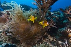 Anemoon en clownfish in het Rode Overzees stock foto